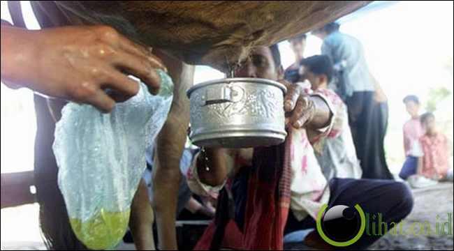 Urin Sapi – Kamboja