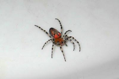 arañas argentinas Araña tejedora roja (Alpaida gallardoi)