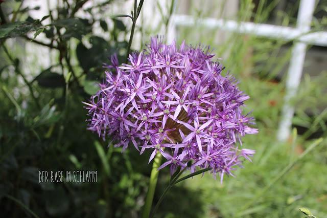 Garten, Garden, Allium, Kugellauch