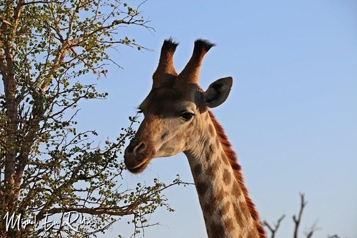Jirafa-Kruger-National-Park