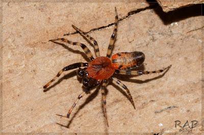 Araña tejedora roja (Alpaida gallardoi)