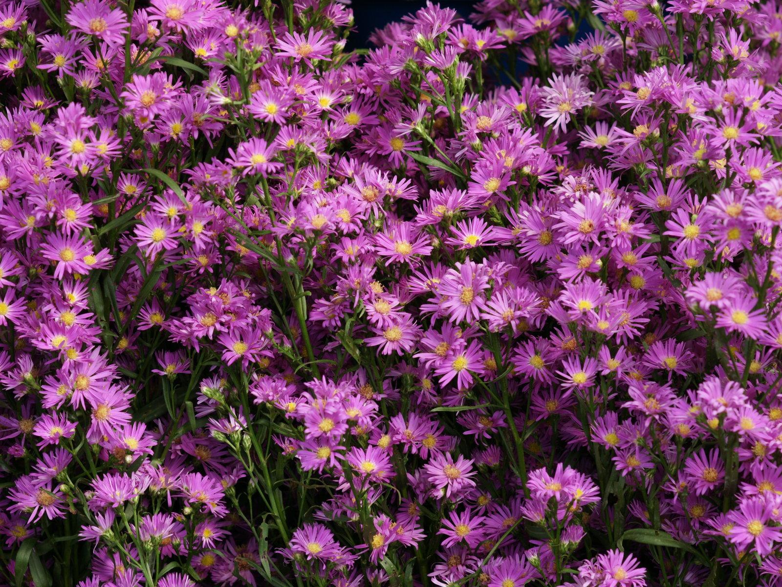 Asters Flowers Care Aster Care