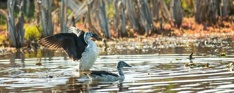 Rondervlei Bird Sanctuary, Knob-Billed Duck, Birds, Picture Perfect, Bird Hides,