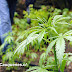 PDI Cauquenes detiene a dos adultos por cultivo de marihuana