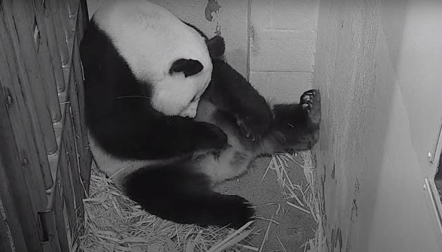 Vídeo del nacimiento de oso panda