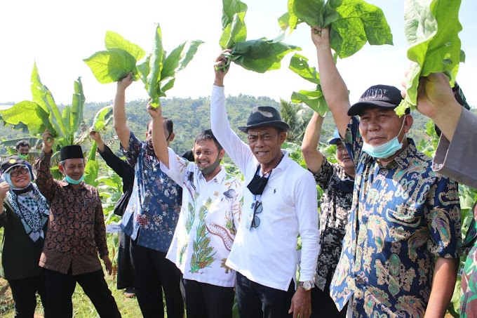 Bupati Subang Panen Perdana Demplot Uji Lokasi Tembakau
