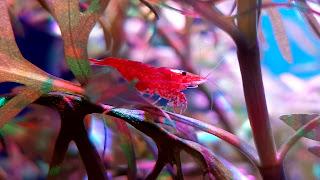 Red Cherry Shrimp Hot Background