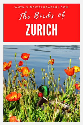 Birdwatching Switzerland - Zurich