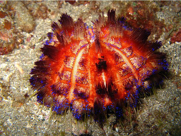 Burning With Desire For The Fire Urchin Featured Creature