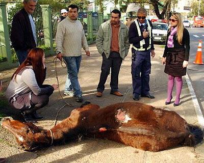 Infelizmente, o destino da maioria dos cavalos que puxam carroças é de trabalhar e sofrer até a morte. Com direito apenas a carregar excesso de peso, sem descanso e alimentação suficiente.