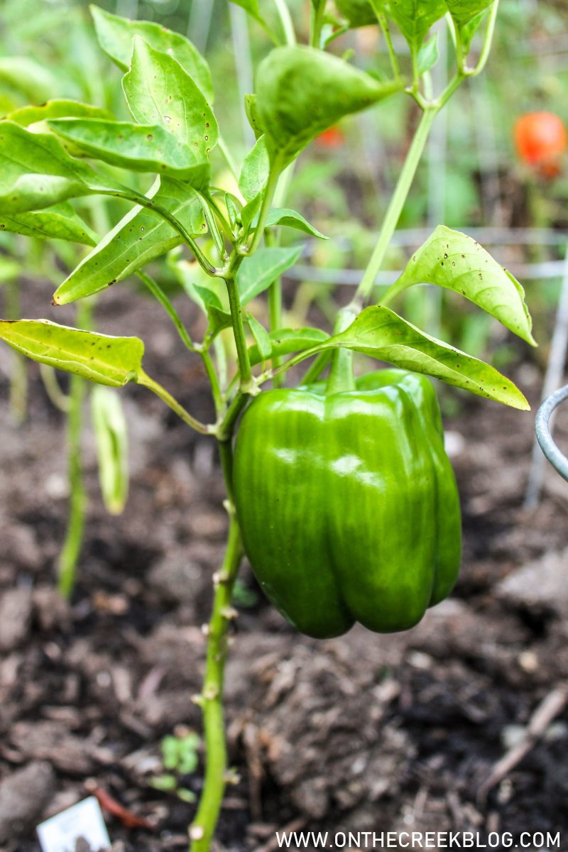 green peppers growing in the garden   On The Creek Blog