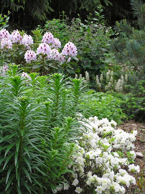 ogród leśny, azalie i różanecznik Calsap