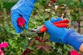 cara budidaya bunga mawar potong,cara budidaya bunga mawar dengan stek,cara budidaya bunga mawar merah,cara budidaya bunga melati,cara budidaya bunga anggrek,cara merawat bunga mawar agar tidak layu,