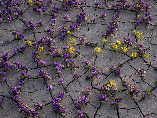 flores moradas en el suelo agrietado del  desierto