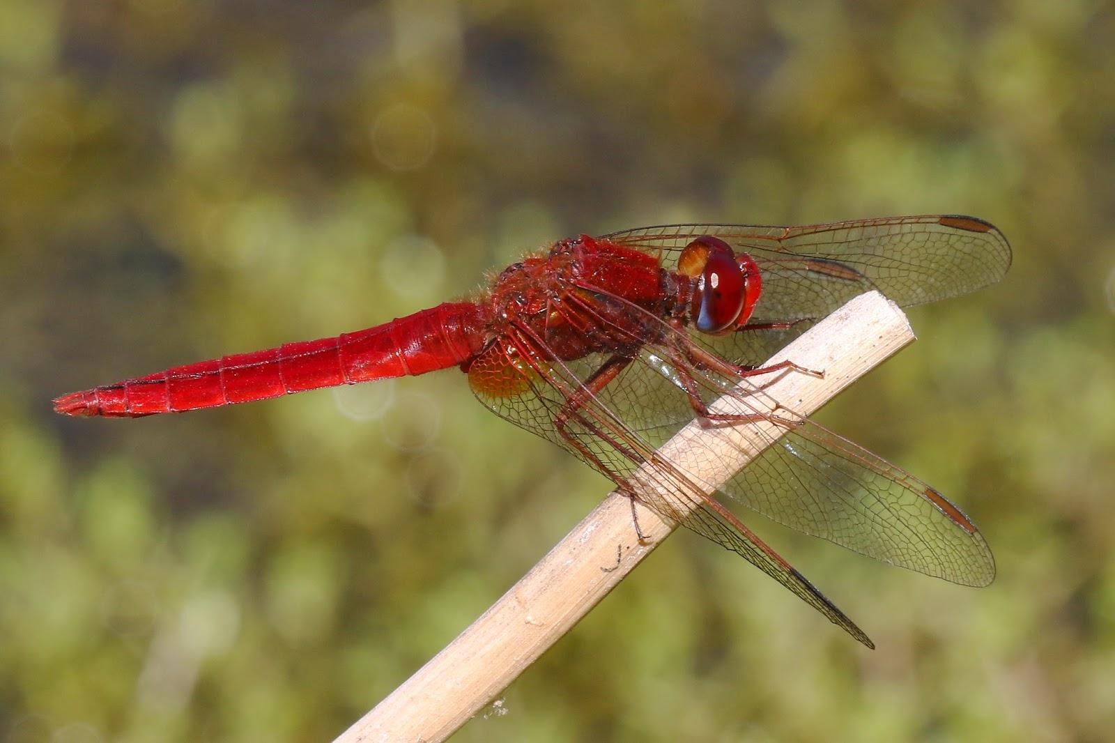 Peter Moore's Wildlife Blog: Scarlet fever at Longham Lakes Scarlet Fever