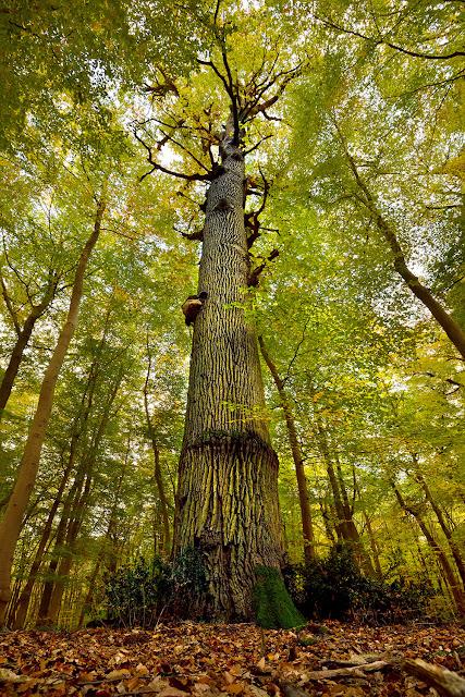 Gros Fouteau, arbre remarquable, Forêt de Fontainebleau.
