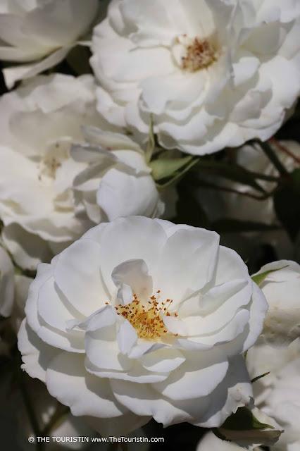 White roses on a rose bush.