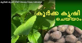 cultivation of koorkka chinese potato