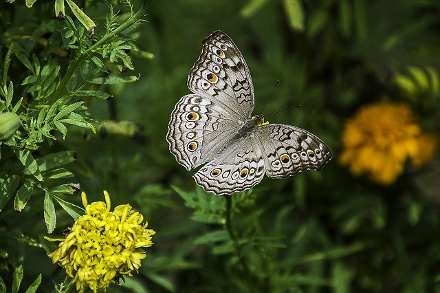 Gambar kupu kupu terbang