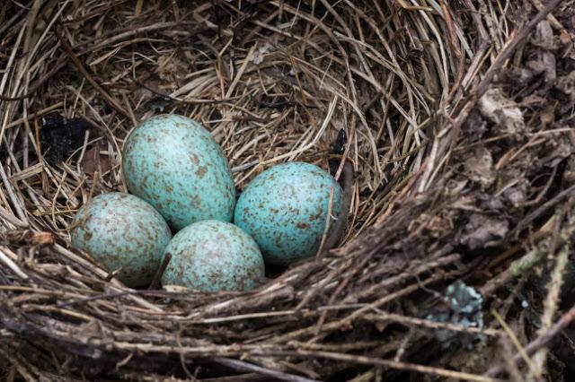 Eggs birds