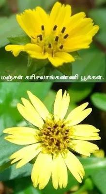 Sphagneticola calendulacea flower