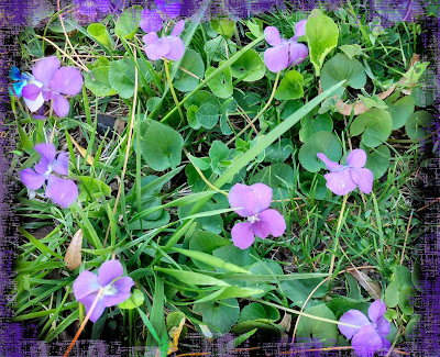 spring wild violets near a grotto in las cruces new mexico
