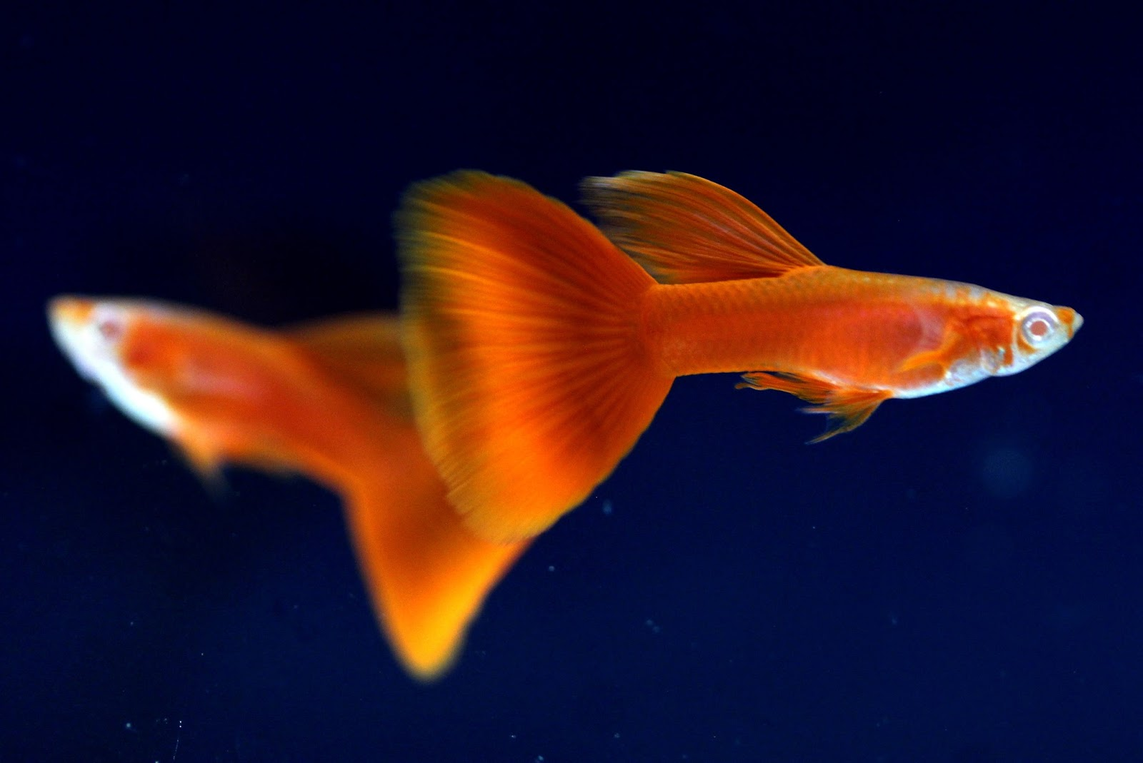 Guppy Albino Full Red Murah Sale Guppy Fish Indonesia