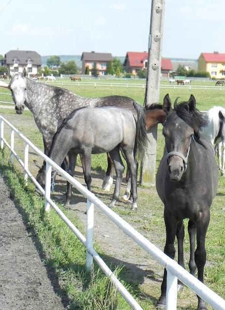 konie arabskie Polska