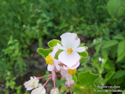 Flor de nácar Begonia cucullata