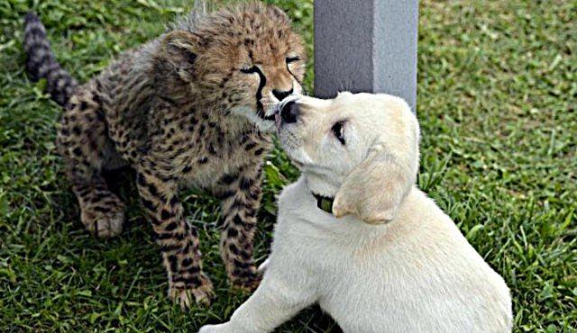 """""""Целую тебя крепко…"""" Слышали – щенков лабрадора подкладывают в клетки гепардов?!"""