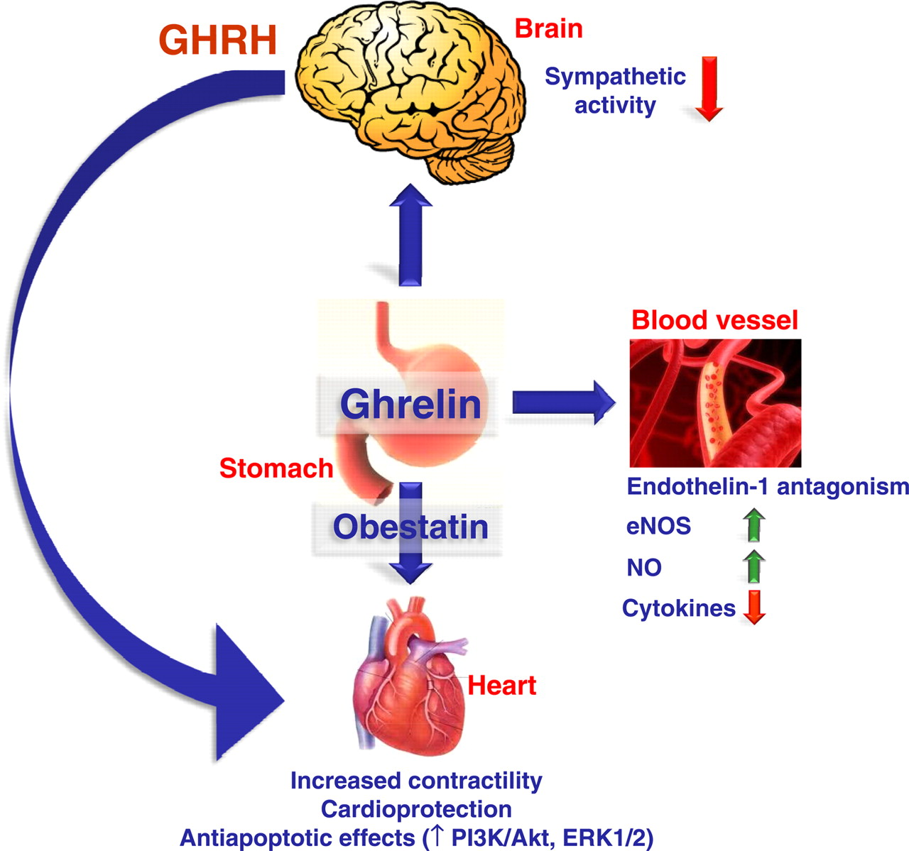 Talk:Ghrelin