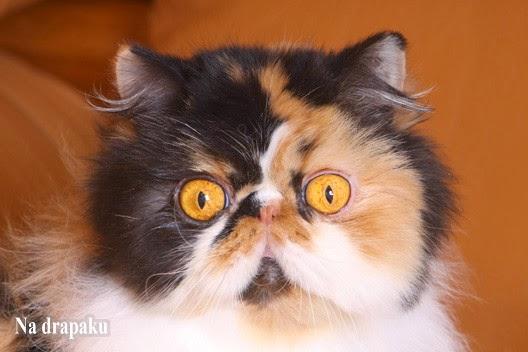 Szylkretowe koty