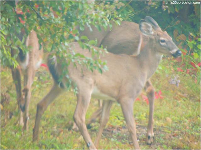 Ciervos en Rockport, Maine