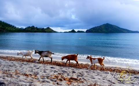 Goats lined up beach hopping at Silanguin Cove hover_share