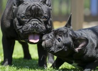 cães pug