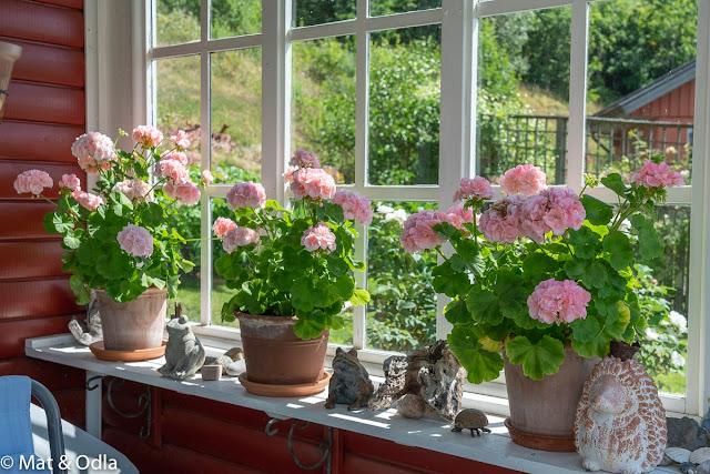 En blommande trädgård vid Lygnern