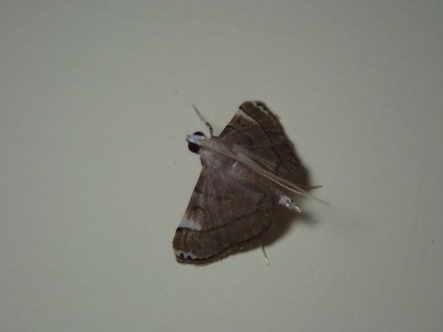 Cangetta hartoghialis