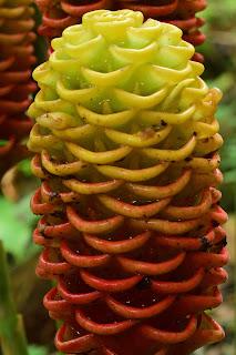 Maraca Flowers in Costa Rica