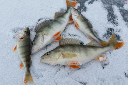 Cara Memilih Ikan Segar Untuk Produk Olahan bebrbasis Ikan