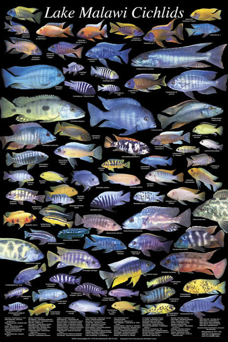 Single 24 posters available ( first 14) .... - Arowanaclub ... |African Cichlid Chart