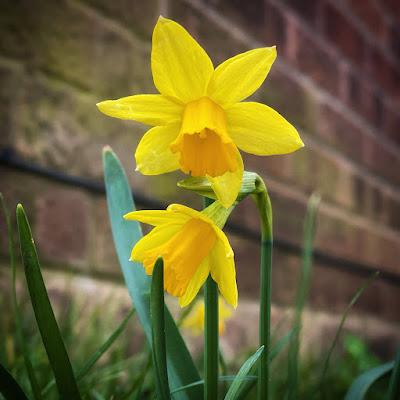 Little daffodil things