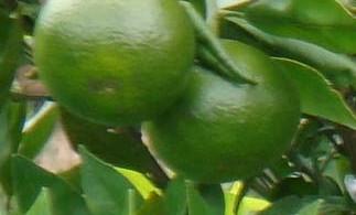 Gambar Buah jeruk yang masih hijau
