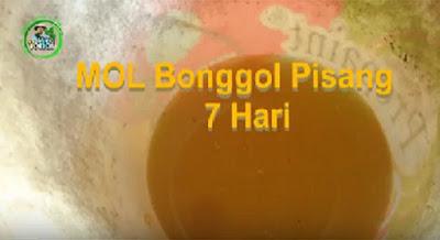 MOL Bonggol Pisang – 7 Hari