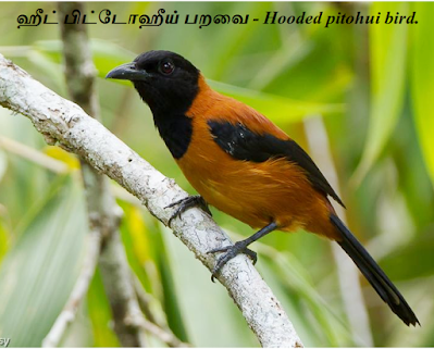 hooded pitohui _bird_new guinea