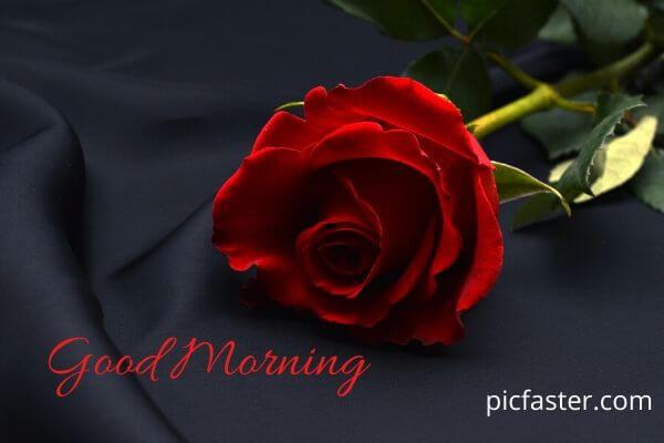 Latest Good Morning Rose Image Free Download