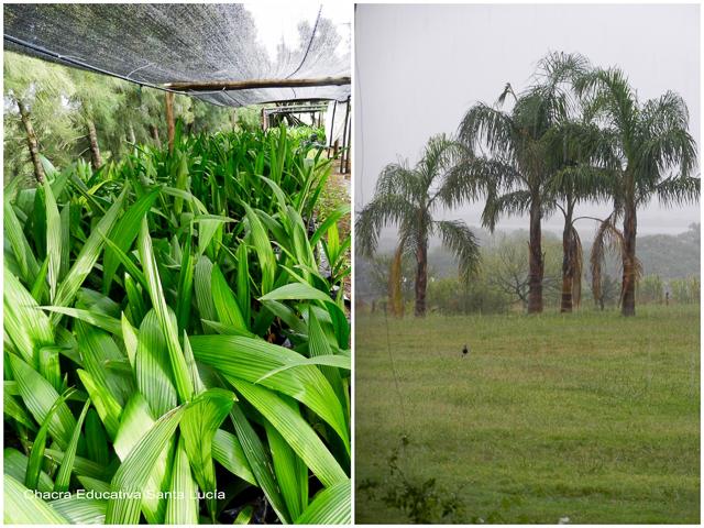 Vivero de palmeras pindó y ejemplares adultos - Chacra Educativa Santa Lucía