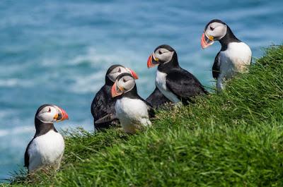 Où observer les macareux en Islande