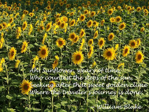 Sunflowers at Kellaways with William Blake's poem