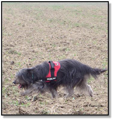 über die Felder zu rennen macht Hunden Spaß