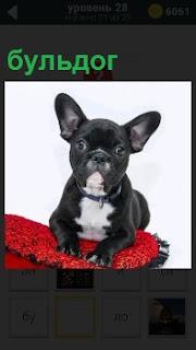 На красной подушечке сидит собака породы бульдог, положив лапы перед собой и ушки торчком